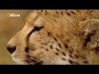 Nat Geo WILD (2012) - Атака Больших Кошек