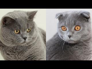 Чем отличается британская кошка от шотландской?
