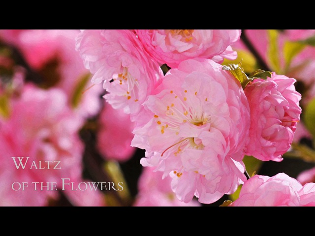 BLOOMING FLOWERS - TIME LAPSE - Watch Flowers Bloom Before Your Eyes