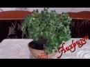 Аихризон дерево любви Уход в домашних условиях