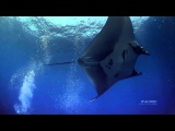 Incredible Giant Manta in the Deep Sea (Wonderful Chill Out Music)