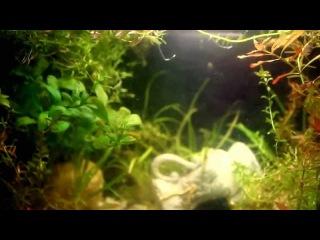 Шпорцевая лягушка (Xenopus laevis)