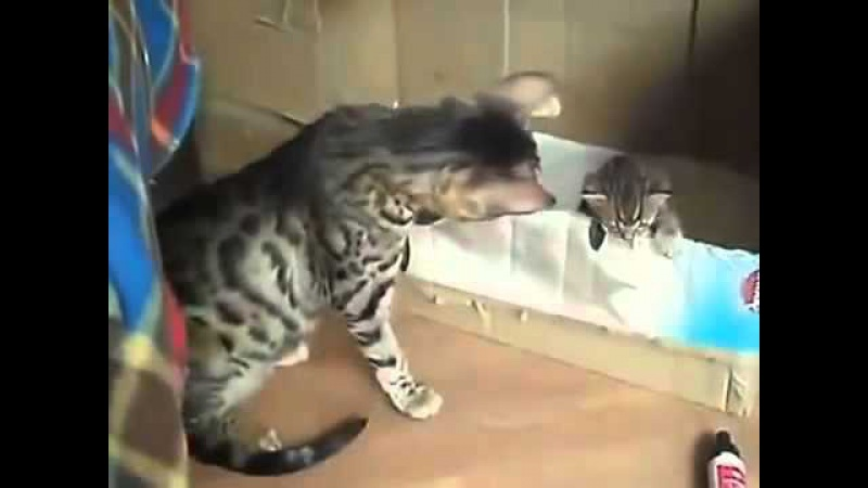 Мама-кошка разговаривает с котятами / Mama cat talking with kittens.