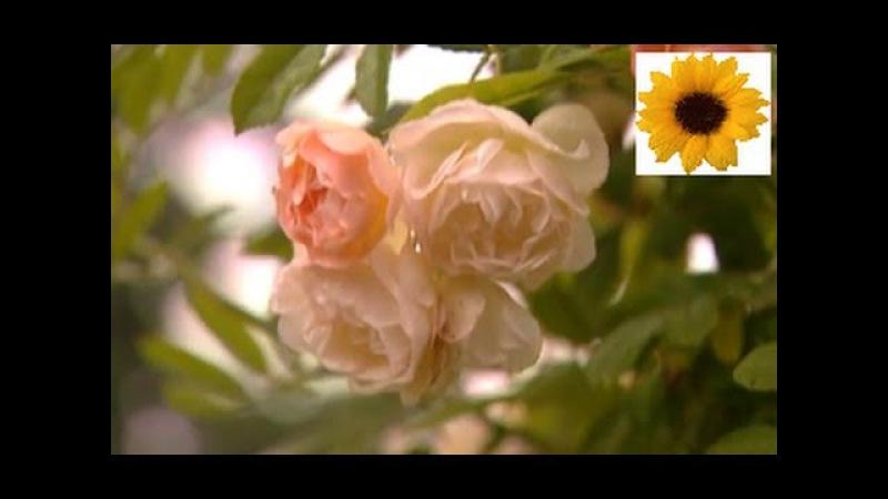 Английский розовый сад. Сады мира. Дача ТВ