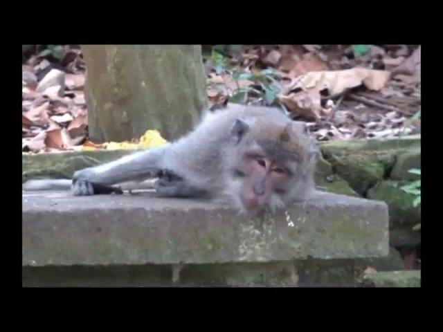 Неизвестное об Известном - Хануман: мир обезьян (выпуск 26 - 6.12.2014)
