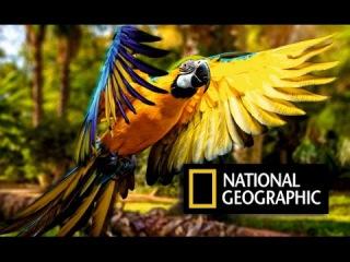 Птица живущая 90 лет! Борьба за самку. Королевский попугай. Двухцветный попугай. Какаду. Австралия