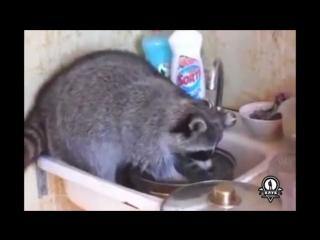 Енот - лучший помощник по хозяйству