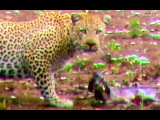 Leopard Hesitates Before Taking Out An Impala Lamb At Birth