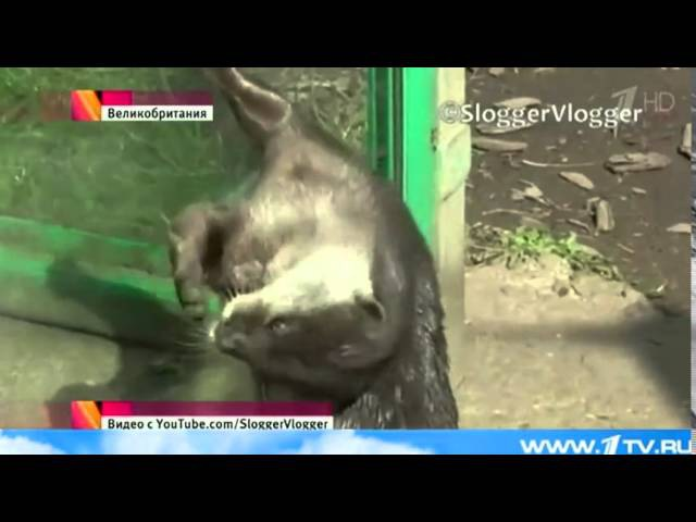 Выдра, обитающая в одном из зоопарков Бирмингема, стала звездой интернета