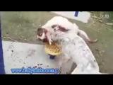 Gull Terr vs CAO