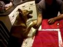 армрестлинг... человек и очень злая собака