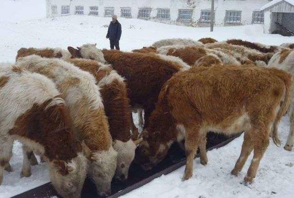 Рекомендации полиции по предотвращению хищений крупного рогатого скота