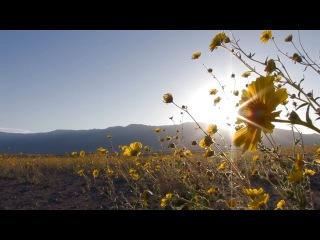 Долина смерти зацвела впервые за 10 лет! Death Valley Exposed_ Wildflowers