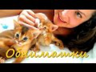 Нянчусь с котятами :) Abyssinian kittens