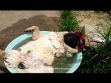 Мопс спит в тазике
