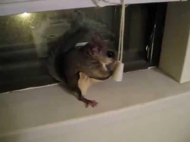 My pet flying squirrel Deeb jumping around playing