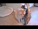 Котики Мяукают - А Кажется Что Говорят!