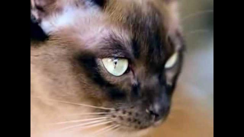 Тайские кошки: фото, описание породы, характер. Кошка тайской породы