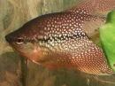 Trichopodus leerii, как отнерестить черный жемчужный гурами. Aquarium fish, Ryby akwarystyczne