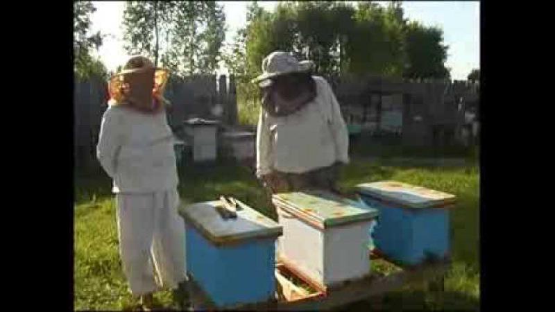 Пчелопакеты - отводок на плодную и неплодную матку