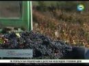 Российское гаражное виноделие может составить конкуренцию европейскому