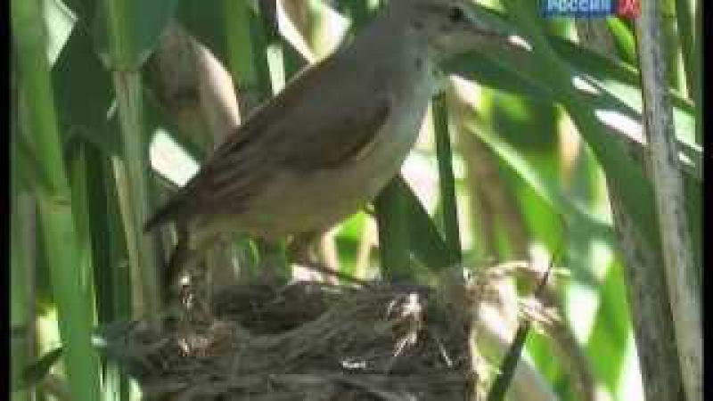 Страна птиц Тайная жизнь камышовок