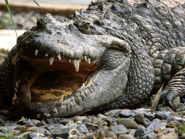 Безжалостный убийца Нильский Крокодил Документальный Фильм National Geographic