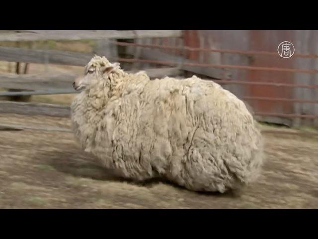 Как овца без пастуха, так и человек без духовника.