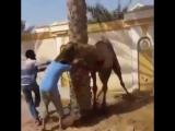 Жестокий верблюд