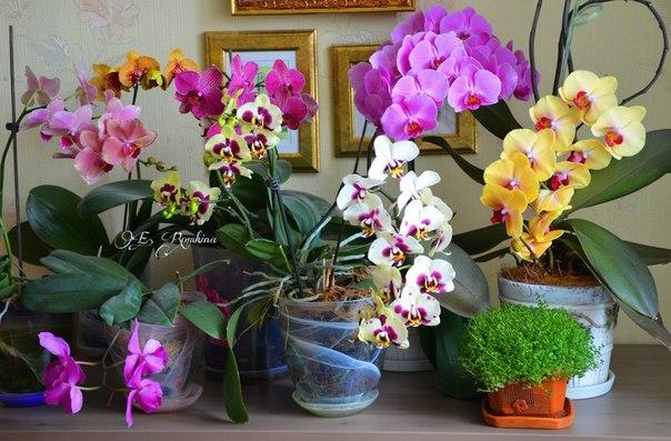 Комнатные орхидеи и уход за ними