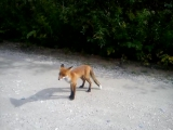 встретили лису на дороге,для нас это было что-то