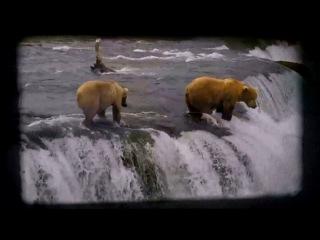 Дикая природа Аляски: Бурые медведи ловят лосося в водопадах реки Брукс. Часть 1