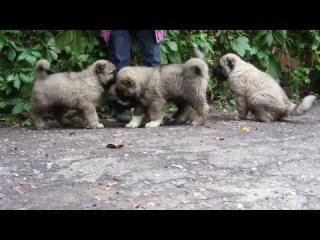 Продаются щенки кавказской овчарки.