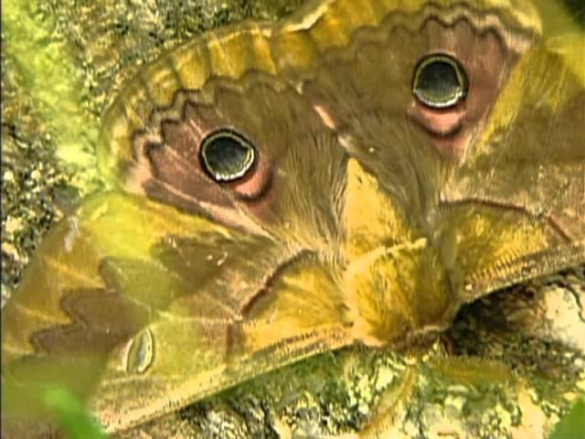 Kemy curiosul episodul 6 : Fluture sau molie ?