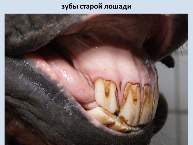характеристика аппарата пищеварения; анатомия органов ротовой полости и глотки