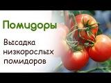 Высадка низкорослых помидоров в открытый грунт. Преимущества способа посадки томатов