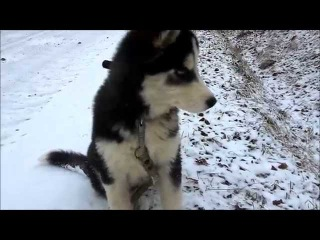 Сибирский Хаски, Воспитание Собаки