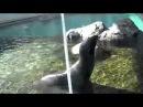 Кричащий тюлень FILES
