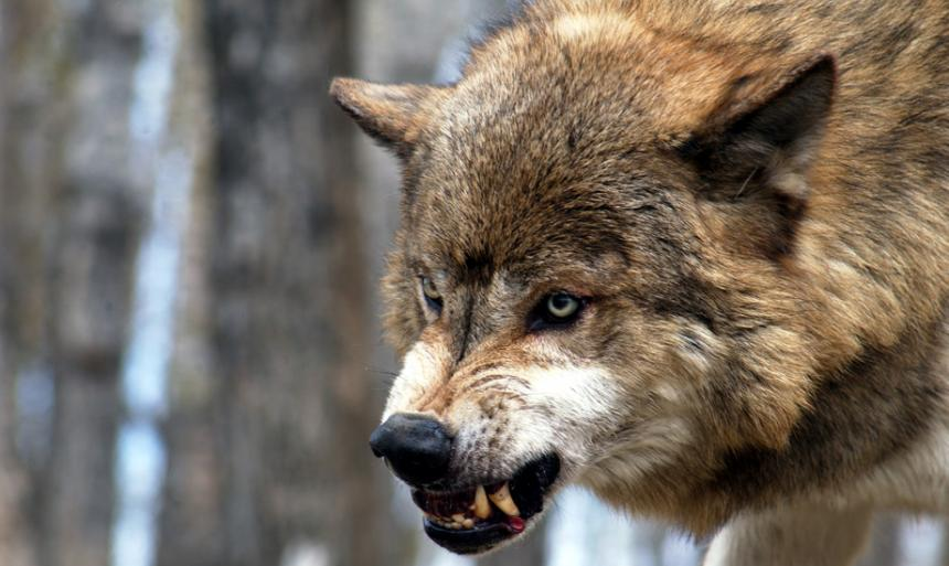 Волки растерзали 39 лошадей кооператива «Томпо»