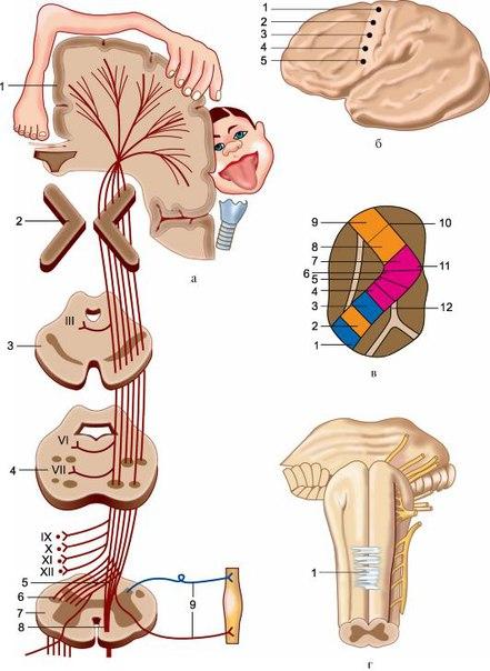 ножка внутренней капсулы;