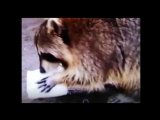 Пропажа года – енот потерял сахарную вату (видео)