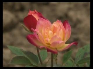Сад и огород. Почвопокровные розы