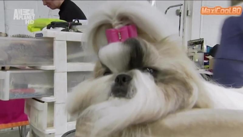 Порода собак - Ши-тцу » Freewka.com - Смотреть онлайн в хорощем качестве