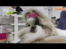 Порода собак - Ши-тцу