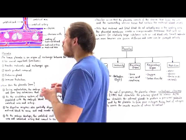 Development and Function of Placenta