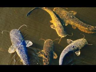 Рыбалка. Гигантские сомы возле Чернобыльской АЭС.