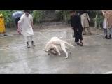 Gull Terr vs Gull Terr (fight in Pakistan) 18+