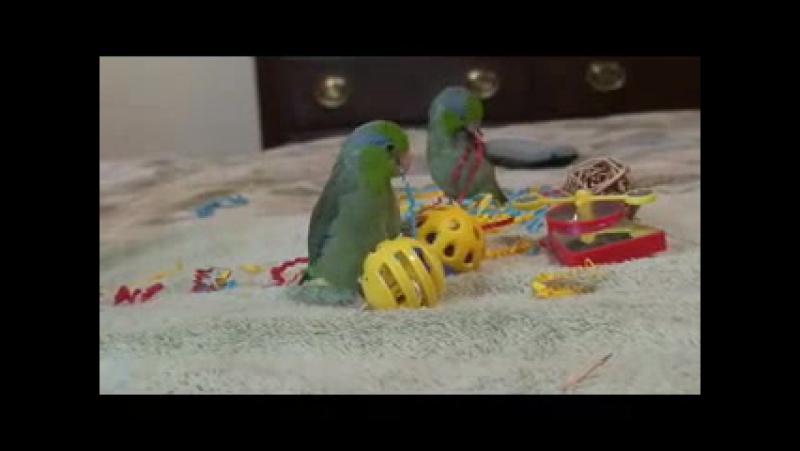 Parrotlets Playing » Freewka.com - Смотреть онлайн в хорощем качестве