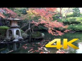 Японские карпы кои - парчовые карпы - Koi Fish - 鯉 - 4K Ultra HD