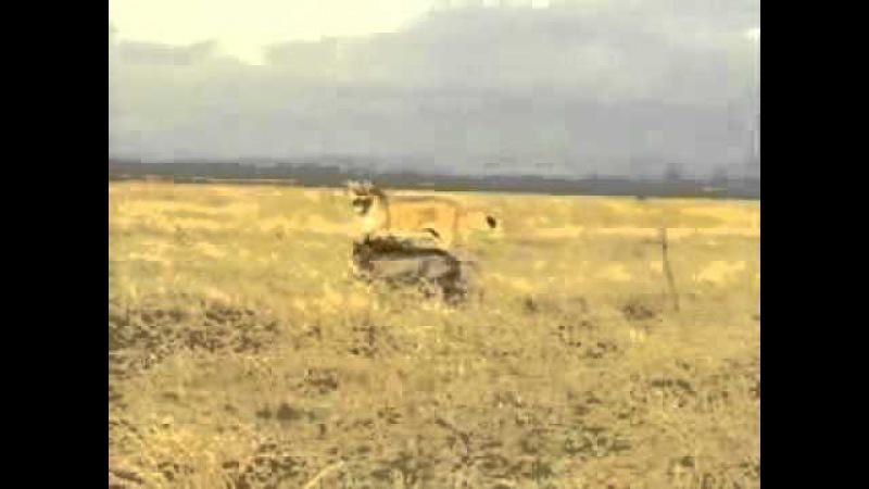кабан против льва кабан жжёт